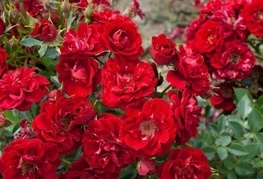 Rosa 'Fairy Dance' (= R. 'Red The Fairy') - vrtnica