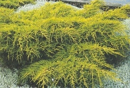 Juniperus x media 'Gold Coast' - brin