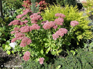 Sedum 'Herbstfreude' (sin. S. 'Indian Chief')