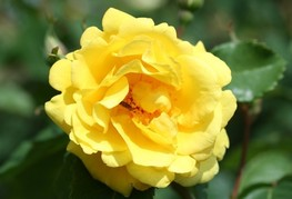 Rosa 'Golden Gate' - vrtnica