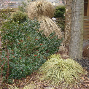 Ilex sp. in Carex hachioensis 'Evergold'