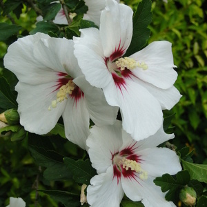 Hibiscus syriacus 'Red Eye'