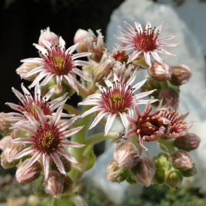 Cvet Sempervivum sp.