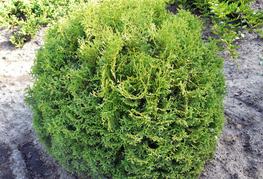 Thuja occidentalis 'Tiny Tim' -  okroglasti klek