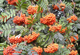 Sorbus aucuparia - jerebika