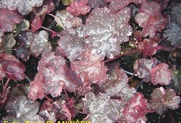 Heuchera 'Midnight Rose' - iskrivka, ognjeni dež