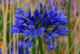 Agapanthus 'Navy Blue' (= A. 'Midnight Star') - afriška lilija