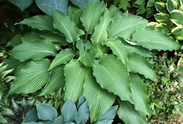 Hosta 'Cutting Edge' - hosta, funkija