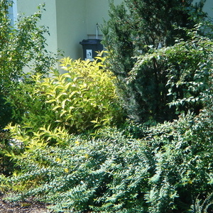 Hypericum in Weigelia